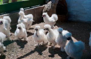 Фото цыплят шелковой купицы