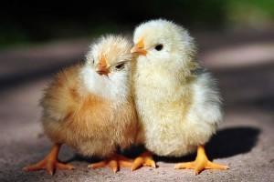 Фото двух желтых цыплят