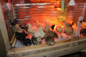 Цыплята под лампой инфракрасного излучения