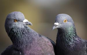 Голуби верные друг другу до конца своей жизни
