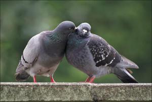 Окрас перьев птиц этого вида - серый