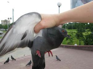 Фото голубя в руке