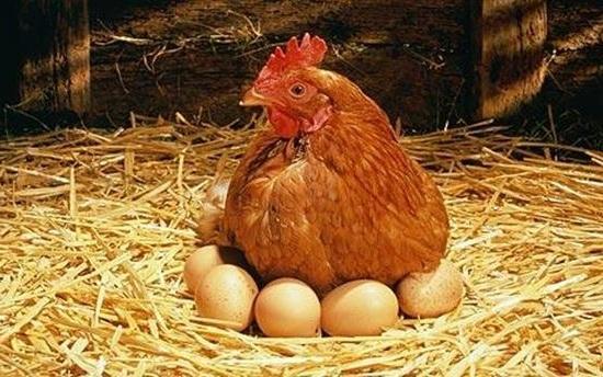 Чужой кот повадился приходить в курятник и есть яйца | Fermer Ru