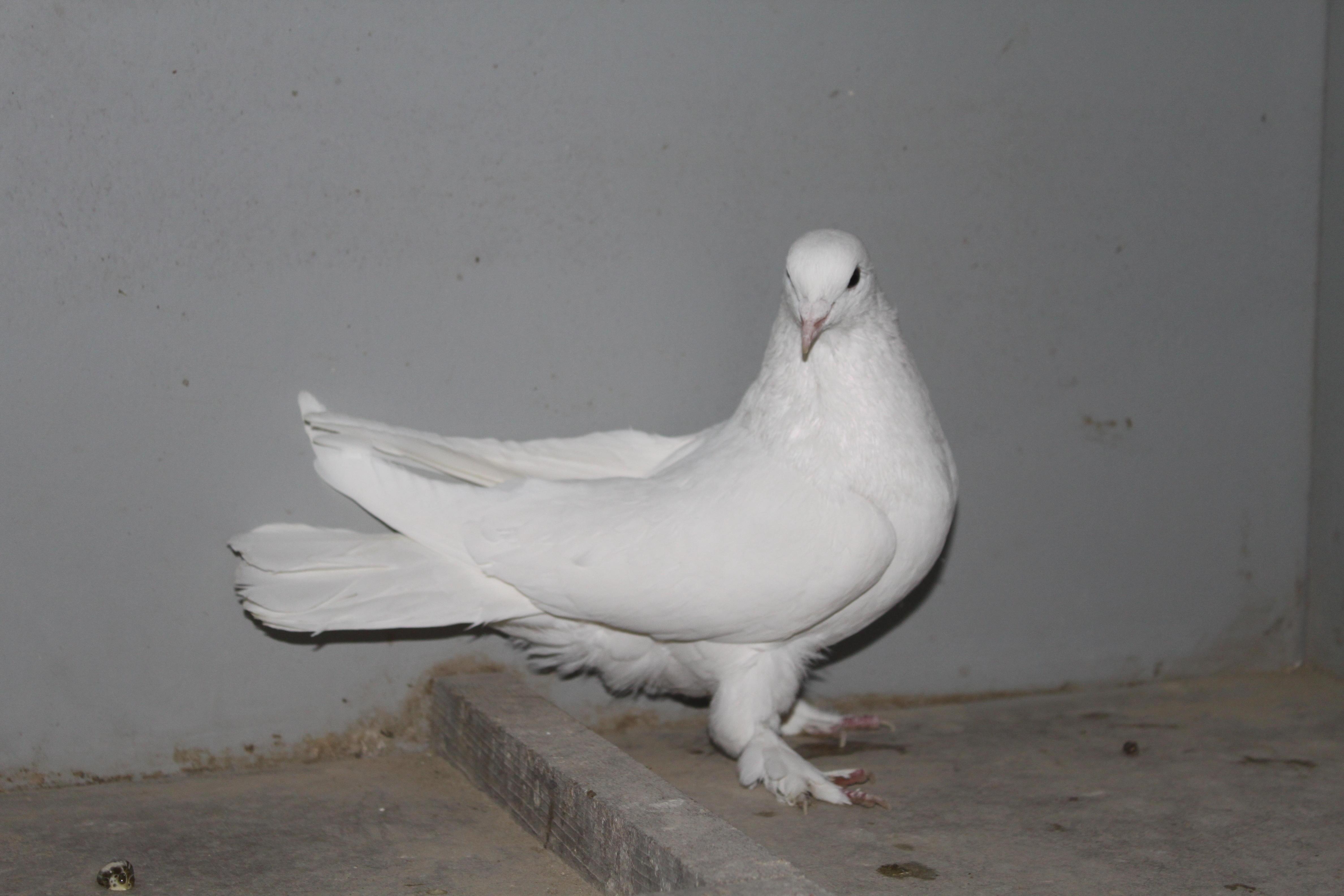 Голубь с белым оперением породы Такла