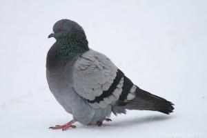 В среднем голуби живут около 15 лет