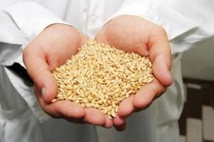 Утятам полезно давать пшеницу