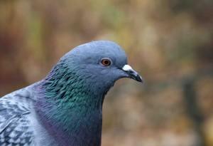 Голова голубя вида Columbia Livia