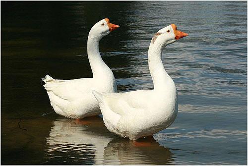 Два гуся в воде