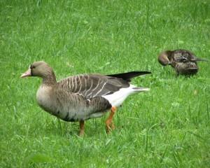Северные белолобые гуси на траве
