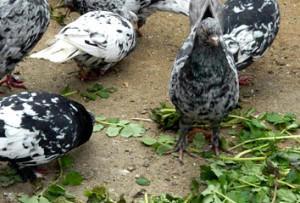 Домашних голубей полезно кормить зеленью