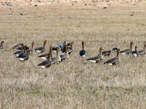 Стая гусей в поле