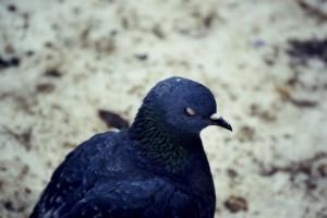Фото спящего голубя темного окраса