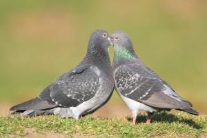 Два голубя Сизой породы