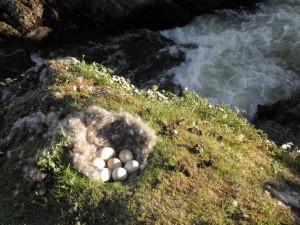 Фото гусиного гнезда с яйцами