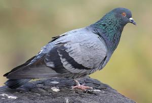 Сизый скалистый голубь (Columba livia)