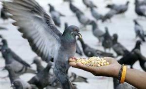 Голуби очень неприхотливые в плане питания