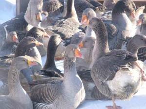 Фото Ландских французских гусей