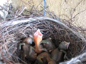 Фото голубят после рождения