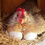 Курица высиживает яйца в гнезде