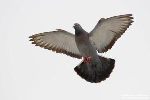 Columba livia во время полета