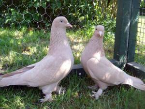 Пара голубей вида Такла