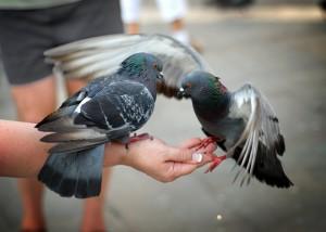 Корм для сизых голубей должен быть сбалансирован