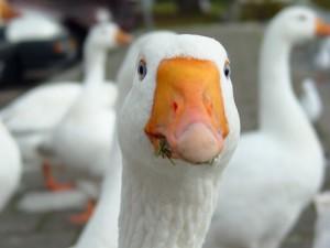 Фото головы белого гуся