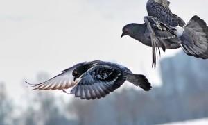 Два диких голубя во время полета