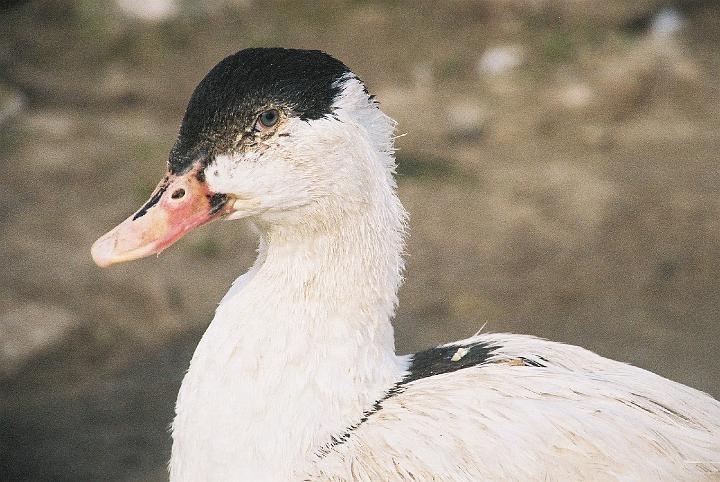 Голова утки пекинской породы