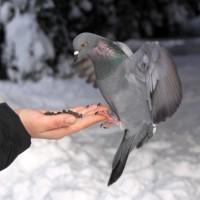 Фото голубя на руке