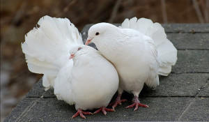 Два декоративных белых голубя