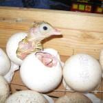 Индюки вылупляются из яиц