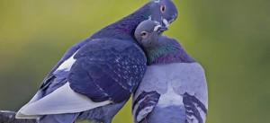 Голубь рядом с голубкой