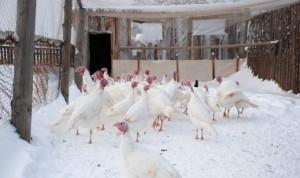 Белые индюки на снегу
