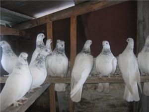Фото голубей в птичнике