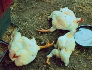 Фото цыплят, которые падают на ноги