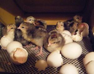 Фото маленьких птенцов возле скорлупы