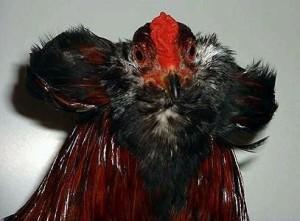 Голова курицы породы Араукана