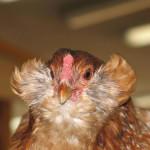 Голова курицы вида Араукан