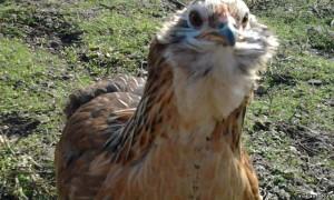 Араукана за год может снести до 180 яиц