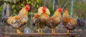 Фото четырех петухов Билефельдер