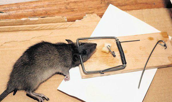 Самая популярная ловушка для крысы