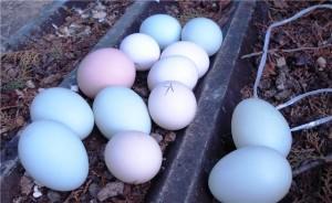 Араукана несут цветные яйца