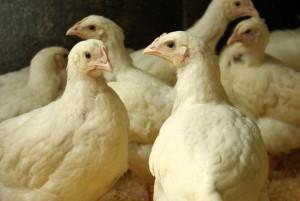 Цыплята бройлеры в птичнике