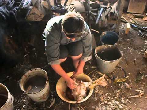 Ощипать кур в домашних условиях