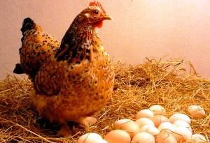 Курица-несушка возле яиц