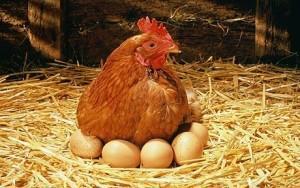 Фото курицы, которая высиживает яйца