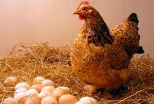 Курица возле яиц в птичнике