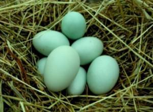 Куры Легбар несут синие яйца