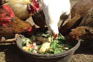 Куры едят замоченную зелень